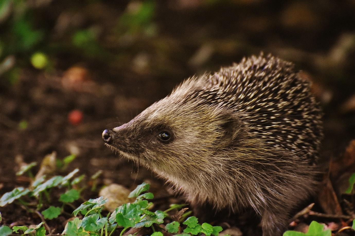 Autumn gardening jobs - Hedgehogs