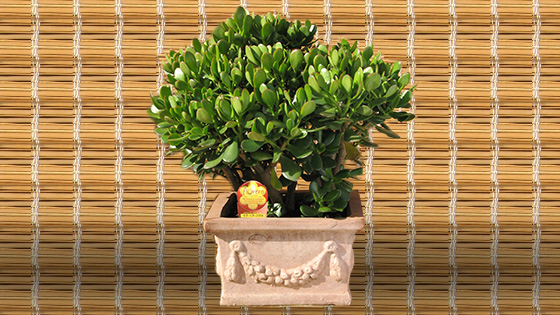 Best Indoor Plants - Jade Plant