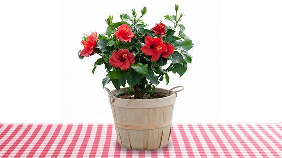 Best Indoor Plants - Hibiscus