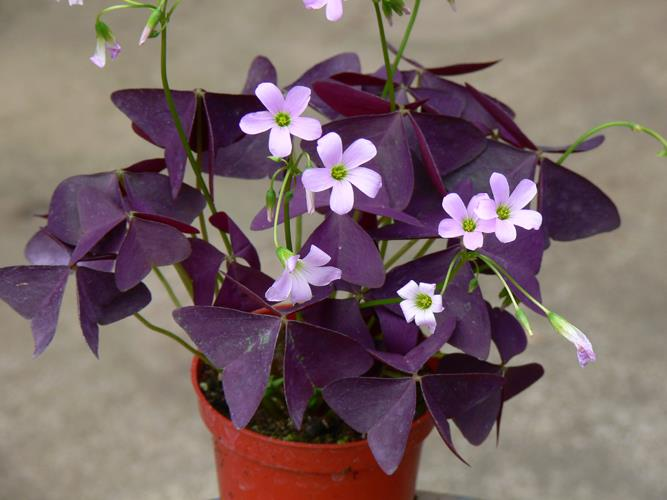 Best Indoor Plants - Oxalis
