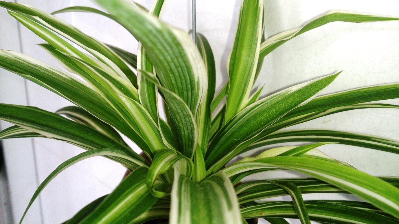 Best Indoor Plants - Spider Plant